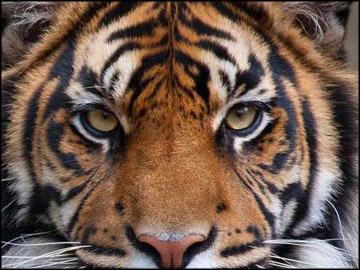 Fota tiger tt